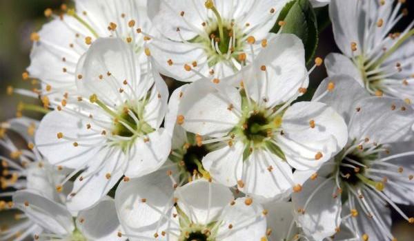 Terapii cu preparate naturiste pe bază de păducel