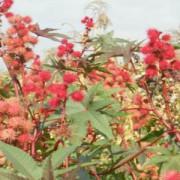 ULEIUL DE RICIN- Terapii cu ulei de ricin pentru sănătate şi frumuseţe